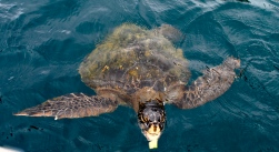Sea turtle, Ecuador
